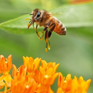 The anthers of milkweeds, like native Asclepias tuberosa (butterfly-weed), are split in half and the pollen is coalesced in sacs like those attached to the legs, tarsi, and claws of the European honey bee in June. Photo © Mary Free
