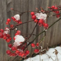 Mature pomes of native Aronia arbutifolia (red chokeberry) persisting in January. Photo © Elaine Mills
