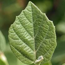 Stellate leaf of native Fothergilla gardenii (dwarf fothergilla) in May. Photo © Mary Free