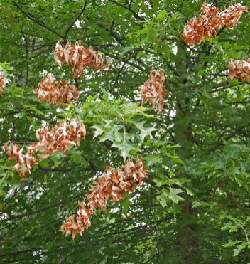 A closer look at flagging branches among otherwise healthy branches and foliage of Quercus palustris (pin oak). Photo © Mary Free