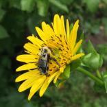 Silphium perfoliatum flower with bumble bee in August.Photo © Elaine MIlls
