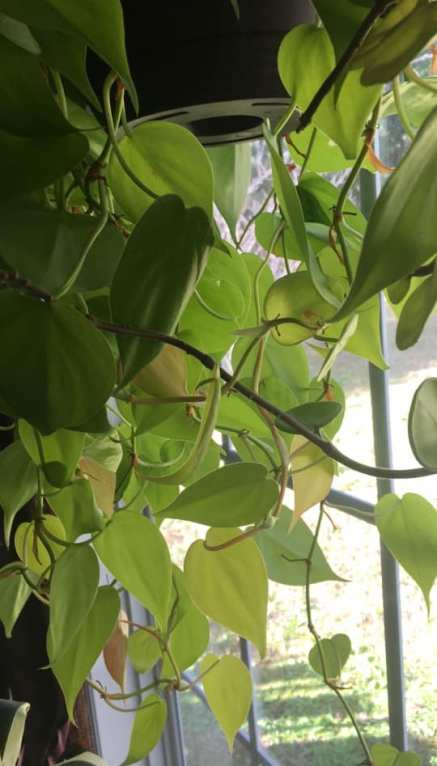 hanging basket of Philodendron 'Lemon' with neon green leaves