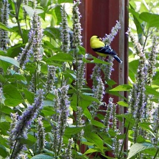An American goldfinch eats nutlets perched on a terminal spike of verticillasters of Agastache foeniculum (blue giant hyssop). Photo © Mary Free
