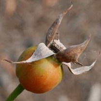 This rose hip is an aggregate of achenes within a fleshy receptacle of Rosa sp. in September. Photo © Mary Free