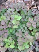 Aquilegia canadensis leaves in April. Photo © Elaine Mills
