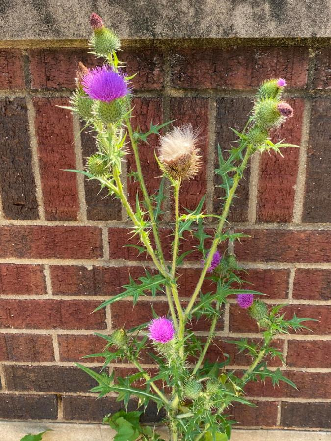 Field thistle in front of brick wall.