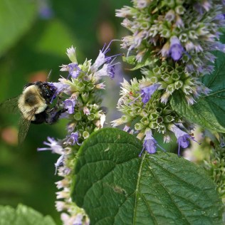 Maturing nutlets can be seen in some calyxes whose petals have fallen on this Agastache foeniculum (blue giant hyssop) attended by a common eastern bumble bee. Photo © Mary Free