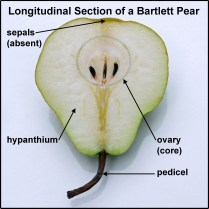 Compare the longitudinal section of Pyrus communis 'Willams' (aka Bartlett in the U.S.) fruit to the section of its flower. Image © Mary Free