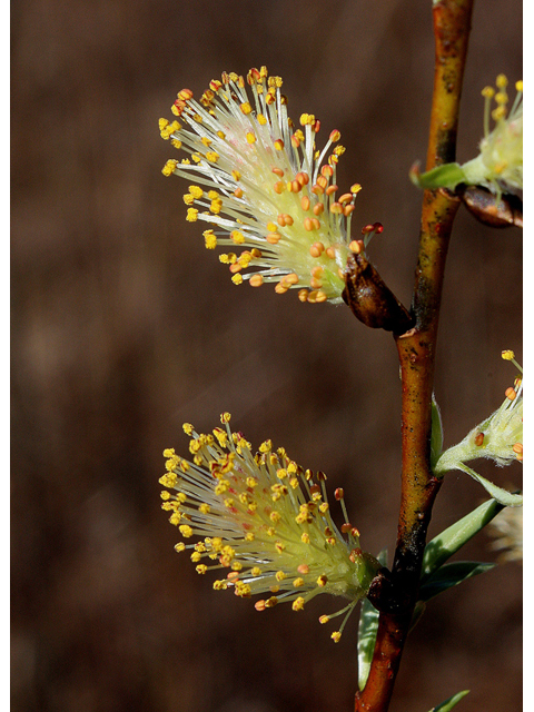 Close-up of silky willow flowers