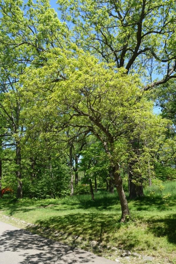 Dwarf chestnut oak in summer by road