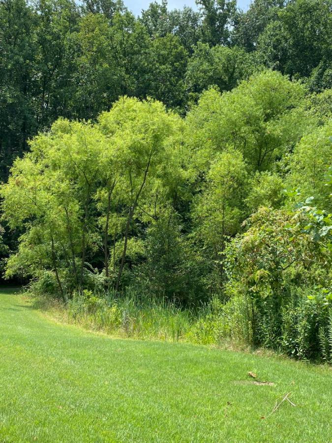 Black willow grove