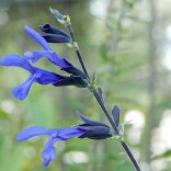 Some liken the bilabiate flowers of Salvia guaranitica 'Black and Blue' to an open parrot's beak or snake's mouth.