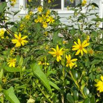 Thin-leaved sunflowers