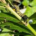 Monarch caterpillar eating the leaves of host plant Asclepias incarnata (swamp milkweed) in September. Photo © Elaine Mills