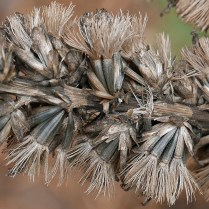 Antrorsely (upwardly directed) barbellate pappi of native Liatris spicata (blazing star) in November. Photo © Mary Free