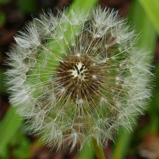Opening pappus plumes of Taraxacum erythrosperum (red-seeded dandelion) at 12:25 p.m with relative humidity at about 67.4%. Photo © Mary Free