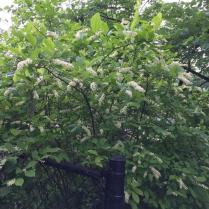 The straight species of Virginia sweetspire - large plant with white panicles