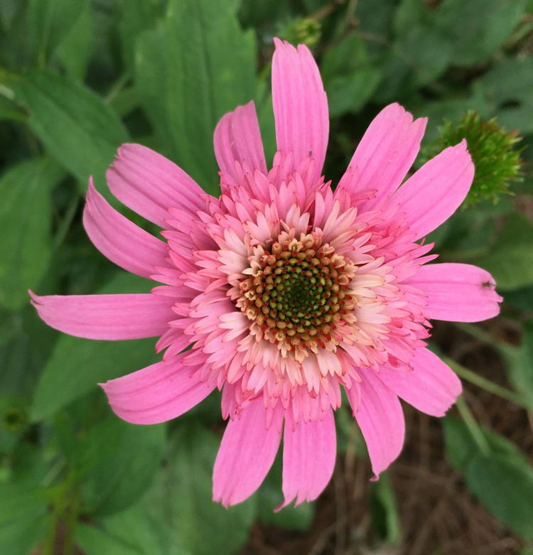 Petals replace nectaries in 'Pink Double Delight' cultivar.