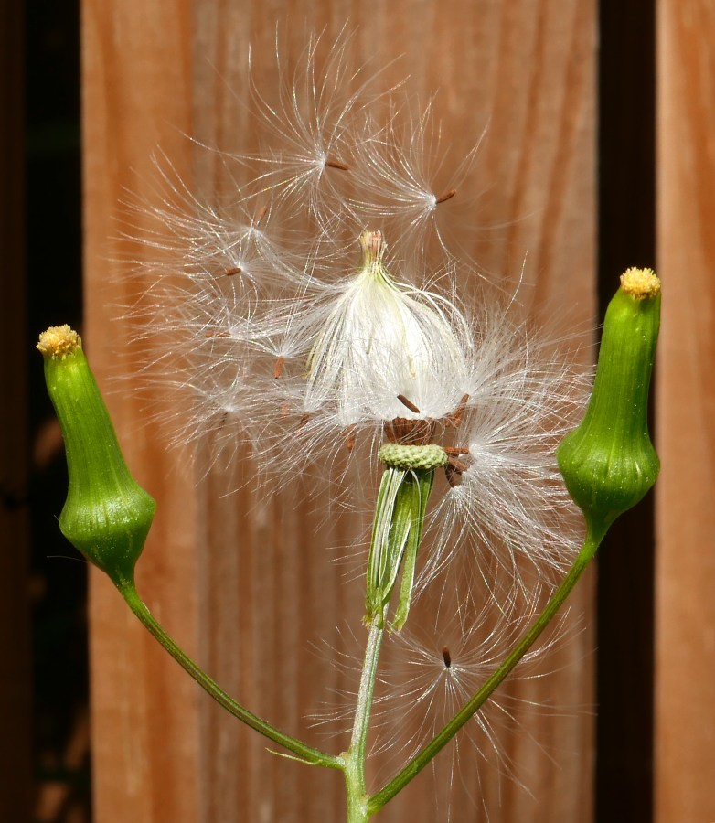 Erechtites hieraciifolius seedhead with cypsela and closed and open pappi framed by two flowers.