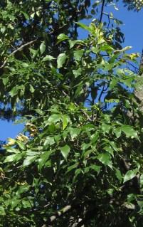 """Ovate to oblong-lanceolate to elliptic"" leaves of Fraxinus pennsylvanica (green ash) in September. Photo © Elaine Mills"