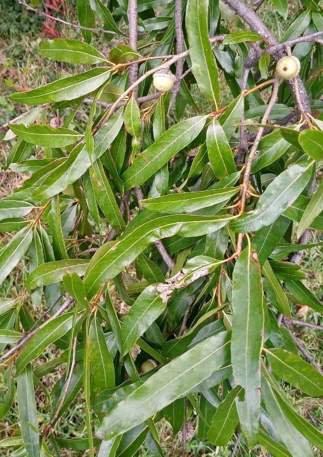 Quercus phellos lanceolate leaves