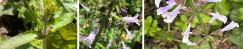 Widely separated verticillasters of native Salvia lyrata (lyre-leaf sage) showing development of dichasial cymes from buds in opposite leaf axils to blossoms (left to right) from April to May. Photos © Elaine Mills