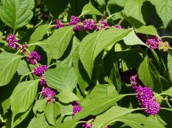 Callicarpa americana (American beauty-berry) fruit and leaves in September. Photo © Mary Free