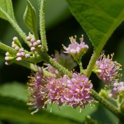 Callicarpa americana (American Beauty-berry) buds and flowers in July.Photo © Mary Free