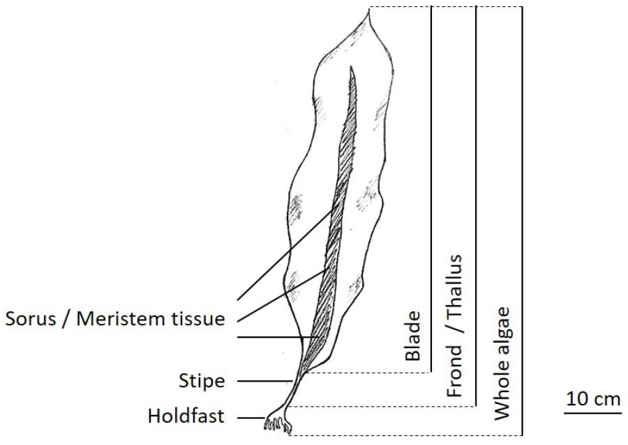 Diagram of Saccharina latissima