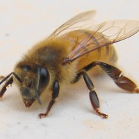 Bees Wasps Guide