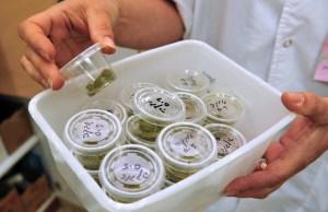 Israel Export Medical Marijuana