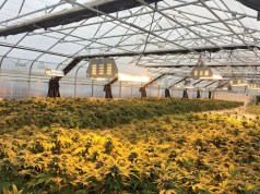 California Marijuana Legalization GrowSpan Greenhouse Structures