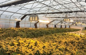 California Marijuana Legalization GrowSpan Greenhouse Structures