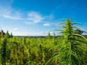 Texas marijuana