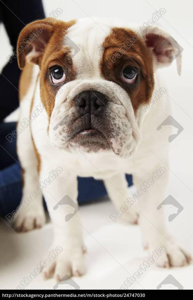 stockfoto 24747030 - studio schuss von british bulldog welpen stehend auf  weißem