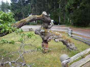 Gnarly old apple tree again! Held up by a milk jug