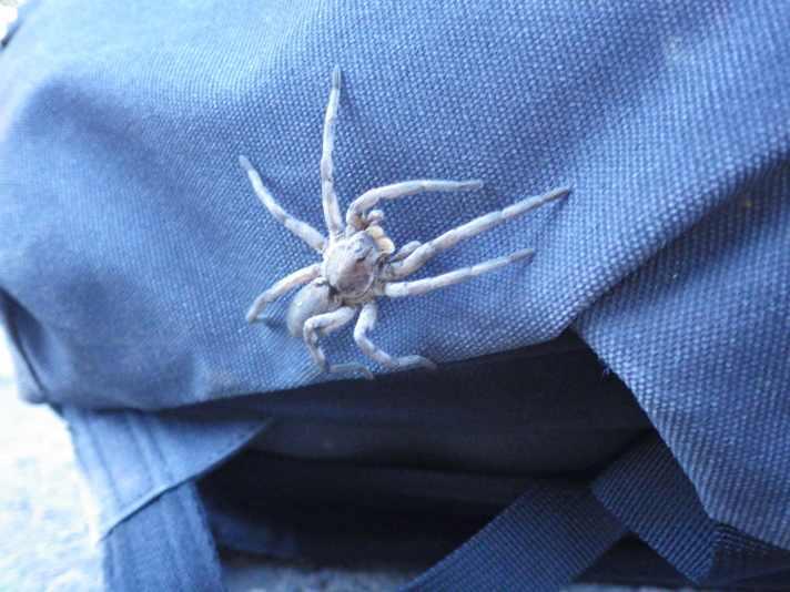 A big but shy tarantula.