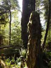 One of the many living stumps that feed the next generation of trees in Cathedral Grove