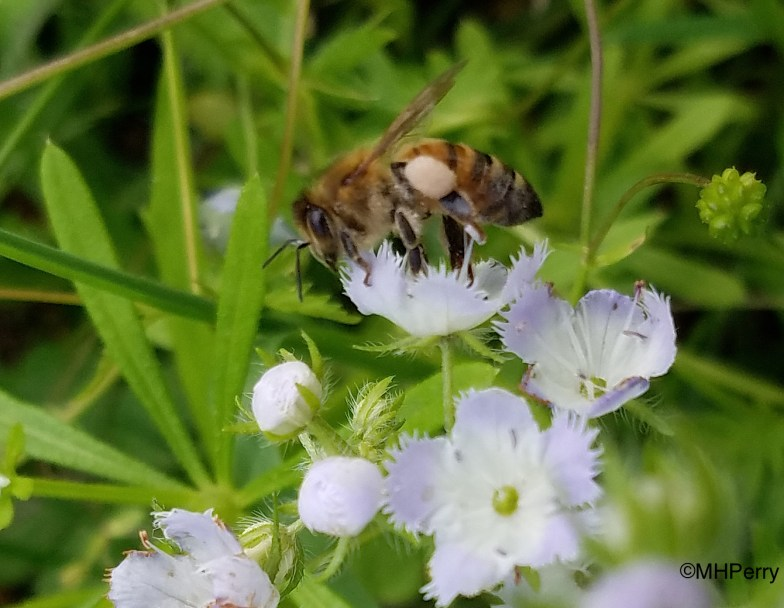 Honeybee Visitor to Purple Scorpionweed