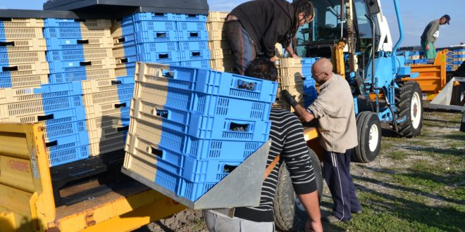 Stacked bi colour crates being used for grape picking