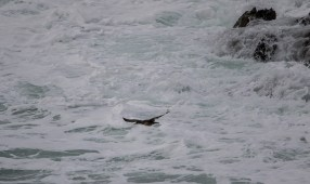 Cormoran dans les vagues
