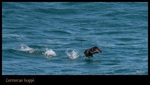 cormoran huppé au décollage