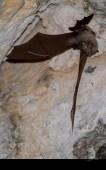 Chauve-souris (Rhinolophe sp.)