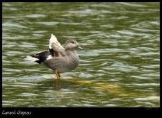 canard-chipeau_6386