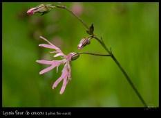 lychnis-flos-cuculi_6366