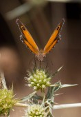 Amaryllis de Vallantin (femelle)
