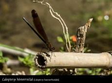 Calopteryx hemorroidal