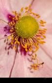 Au cœur d'une anémone (Anemone japonica)