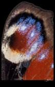 Ocelle de Paon du jour
