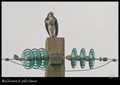 Balbuzard pêcheur (= fluviatile)